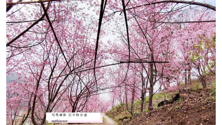 新竹|旅遊|司馬庫斯 巨木群步道 為了山神等級的二千年母親紅檜Yaya 爆走5小時也願意!!