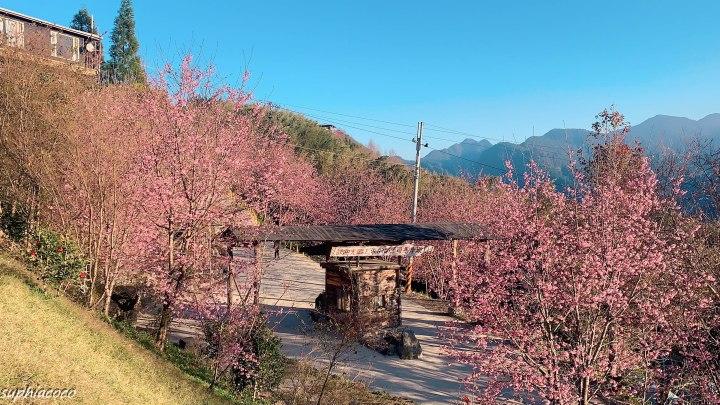 新竹|旅遊|司馬庫斯 深陷初春的粉紅櫻花海 成排櫻花大道美的無法形容!
